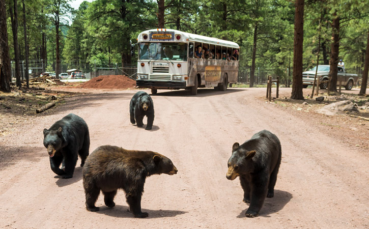 Four black bears stroll in front of a tour bus on a dirt road at Bearizona in Williams, Arizona