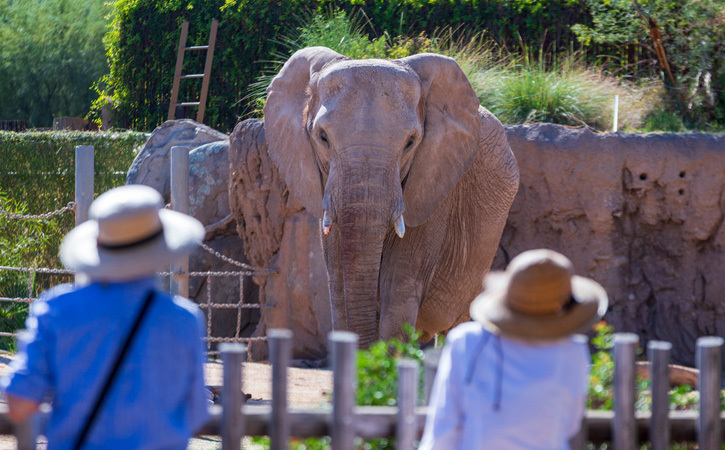 An elephant in a zoo enclosure faces the camera. We can see two people from behind looking back at the elephant