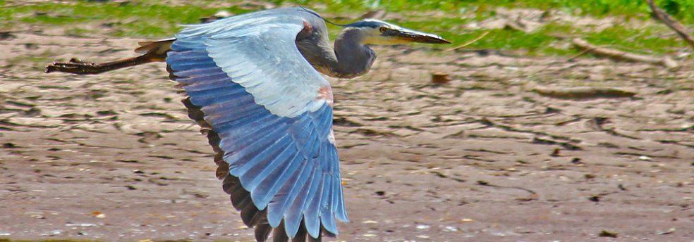 A blue heron takes flight in the Sky Islands of Arizona