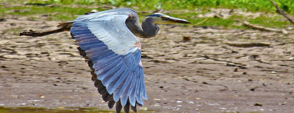 A blue heron flies low in the San Bernadino National Wildlife Refuge