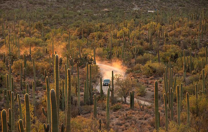 A truck drives through a dirt trail in a desert full of Saguaros.