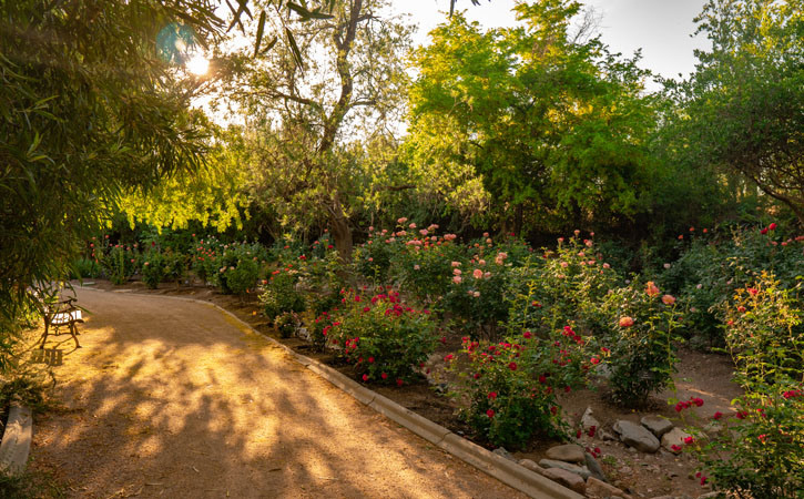 A wide dirt path weaves through a garden of differently colored rose bushes. Sunlight shines through the trees onto the path
