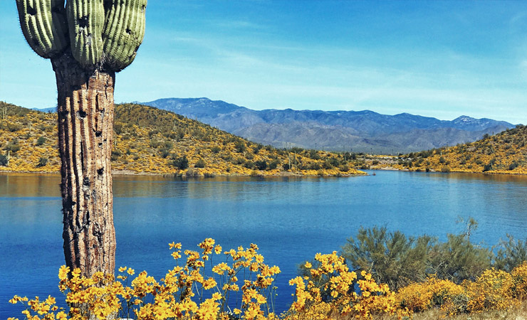 A saguaro cactus stands near a blue lake and yellow flowers