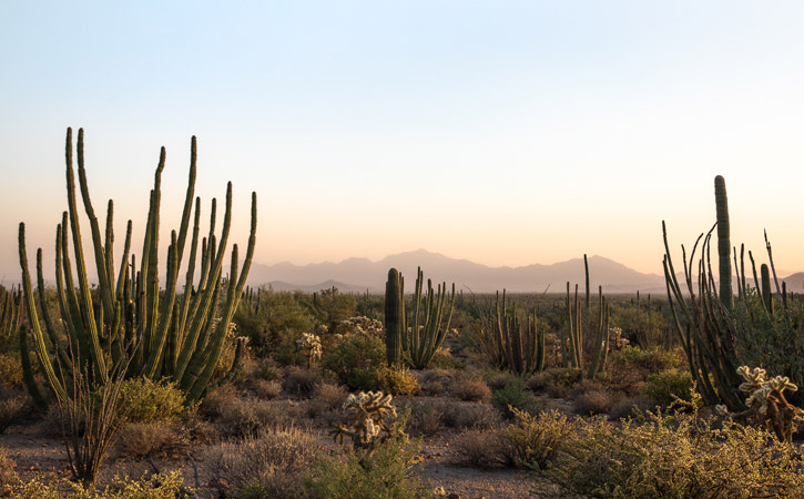 A desert scene with organ pipe cactus under a hazy blue and purple sky