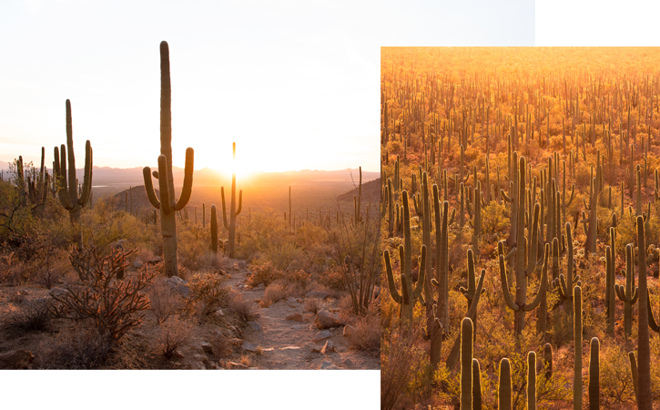 Two images, both depicting saguaro cacti at sunset