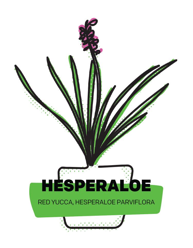Hesperaloe