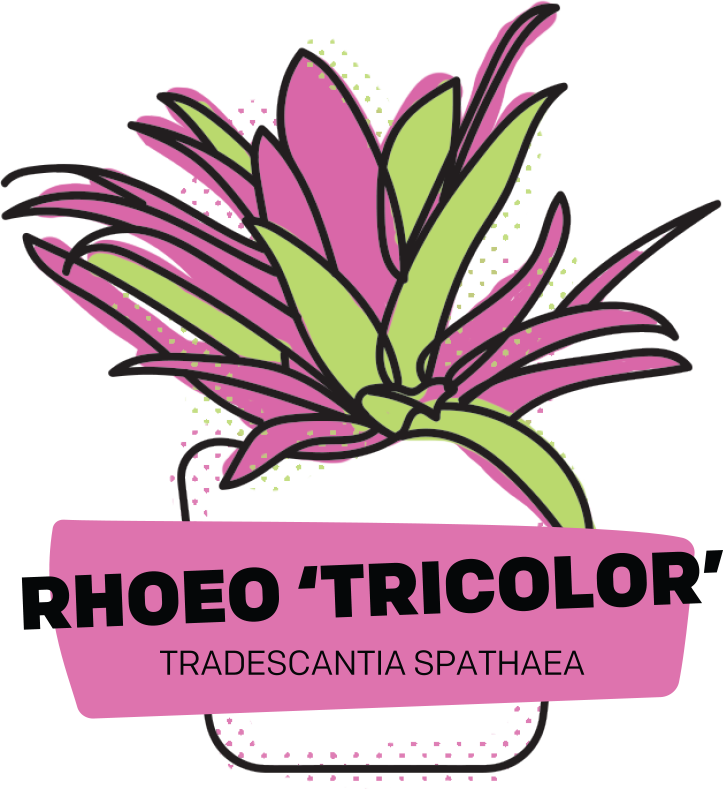 Rhoeo 'Tricolor'