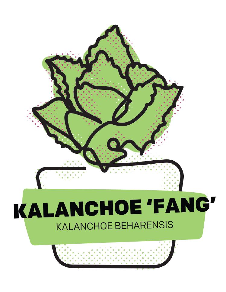 Kalanchoe 'FANG'