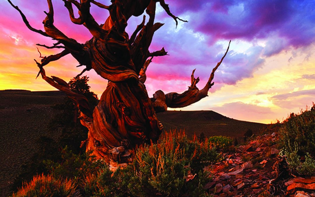 California's Bristlecone Pines, The Oldest Living Things on Earth