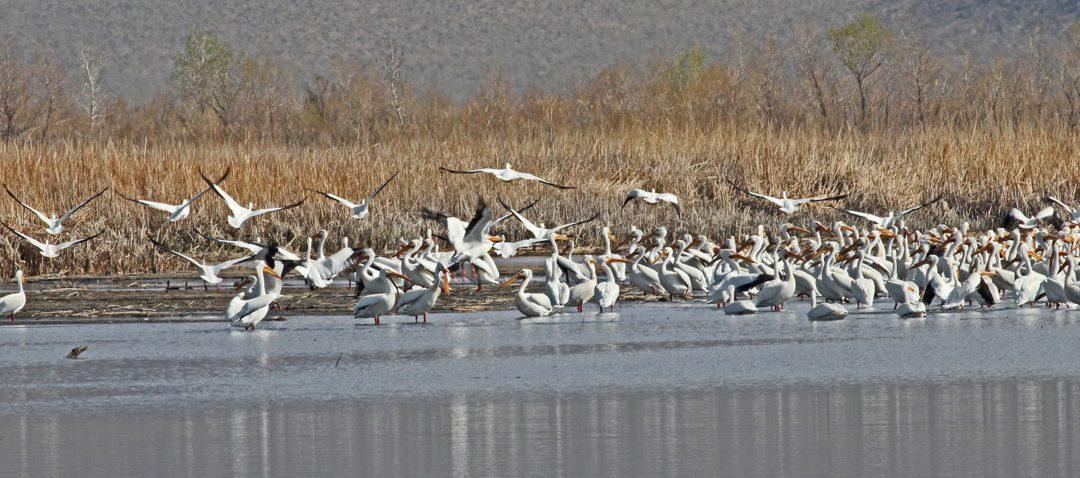 White Pelican Migration in the Eastern Sierra