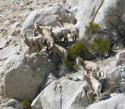 Sierra Nevada Bighorn Sheep 2
