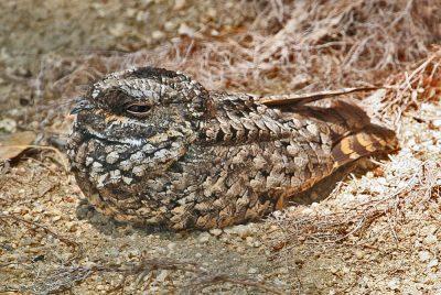 common poorwill bird