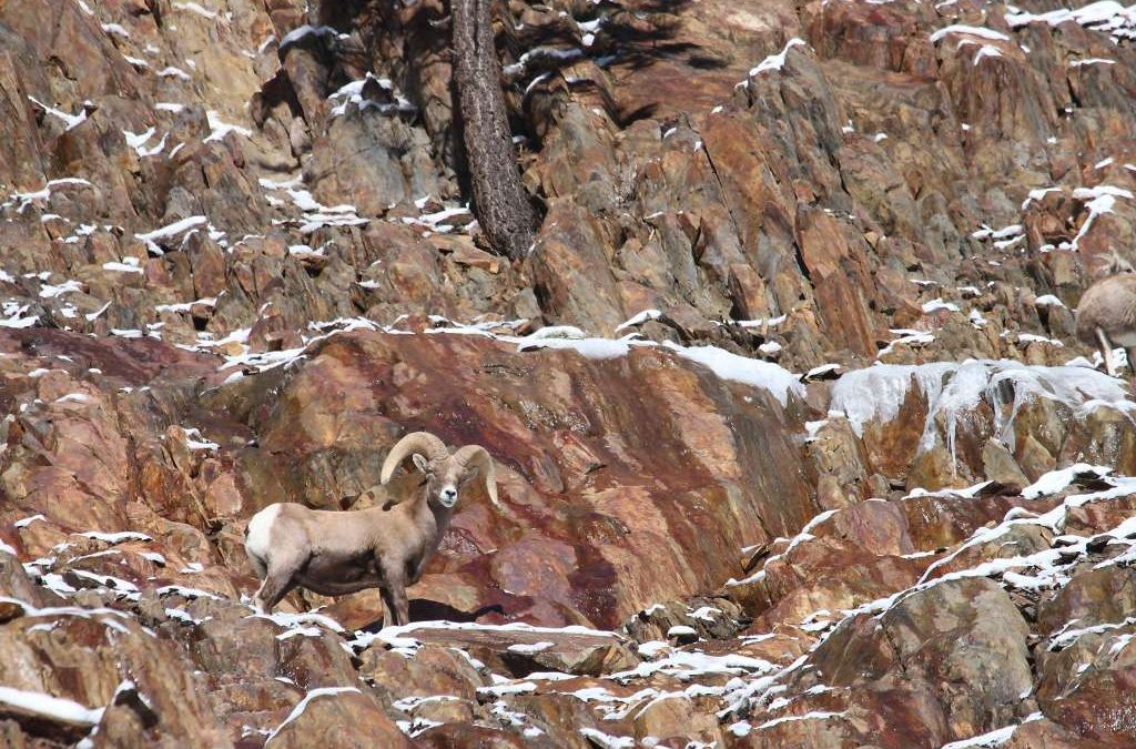 Sierra Bighorns on Ledge of Breakthrough