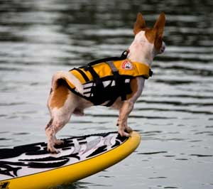 image of dog wearing a flotation vest
