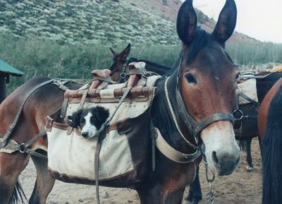 image of dog in a mule's pack bag