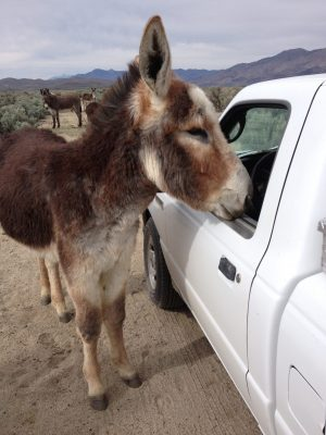 image of a burro looking in a vehicle window.