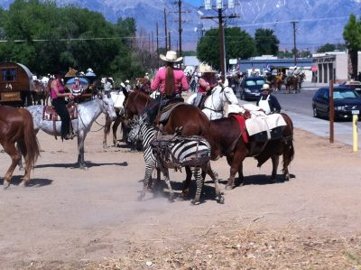 image of a zebra being ponied by a woman on horseback.