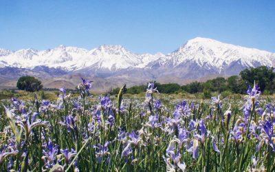 Wildflowers of the Eastern Sierra