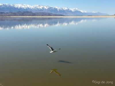 Gull-over-Owens-Lake-pond