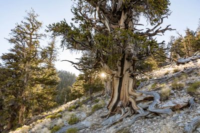 california-high-sierra-bishop-ancient-bristlecone-pine-forest-3