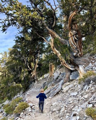 Ancient Bristlecone Pine Forest and young boy. Bishop. CA