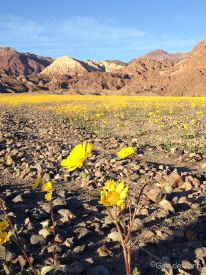 Superbloom. Wildflowers. Death Valley.