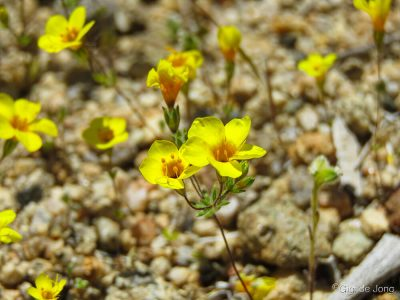 Owens Valley Buttercup flower