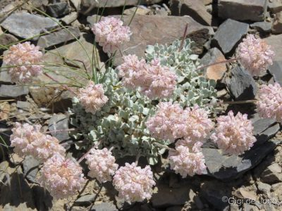 Flower. White Mountain Rd. Bishop. Ca