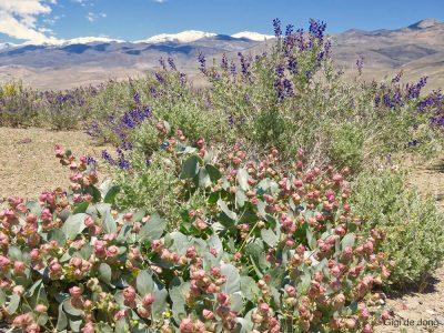 Wildflowers. Bishop. Ca