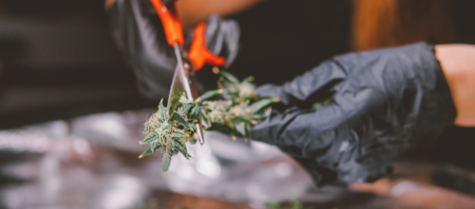 trim marijuana