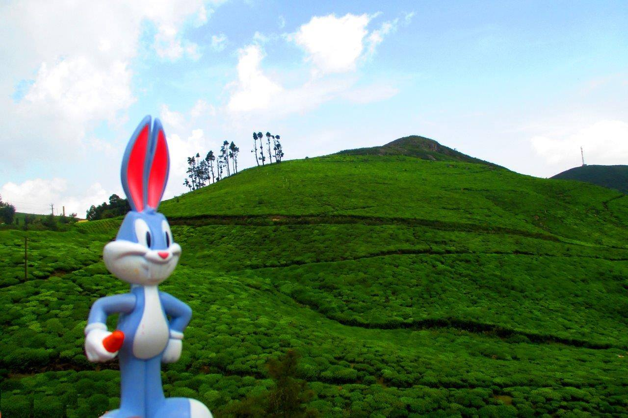 Bugs bunny loves the lush green hills covered with tea