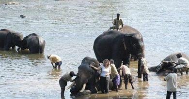 Bathing elephants in the river