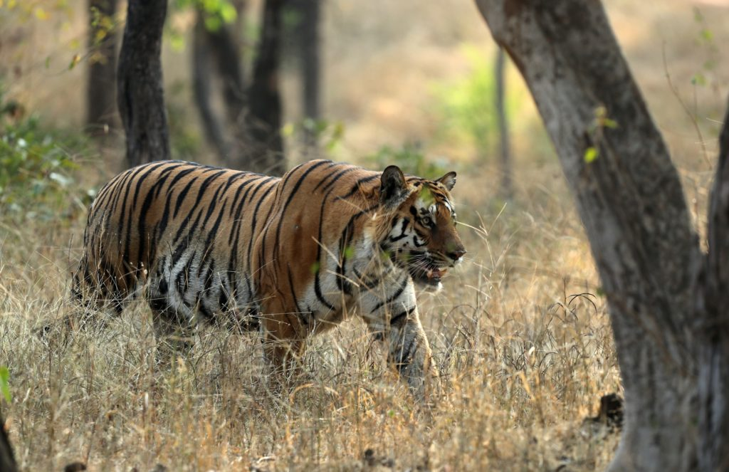 Tiger of Pench