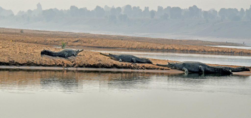 Chambal Ghariyal Sanctuary