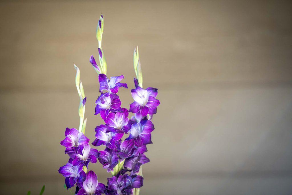 Purple gladiola flowers