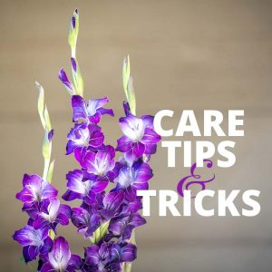 How to care for gladiola tips & tricks