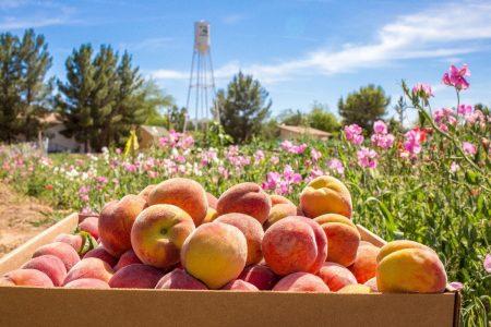 peach schnepf