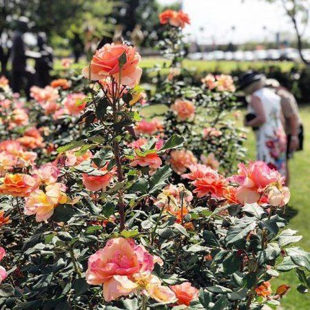 Mesa Community College Rose Garden - Crowdriff