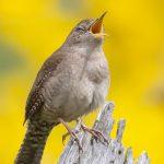 Singing Sparrow by Mitzie Schamel