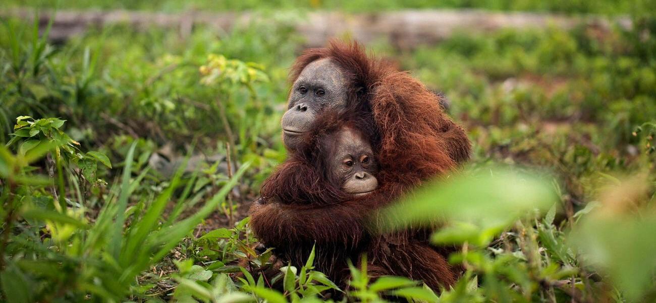Orangutan palm oil habitat loss