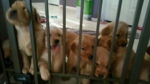 Golden Puppy Group 4 weeks