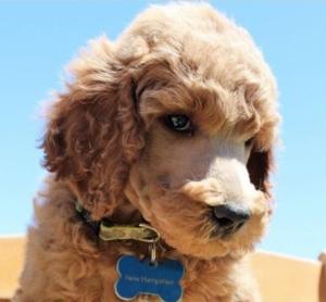 Poodle pup1