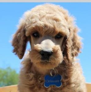 Poodle Pup2