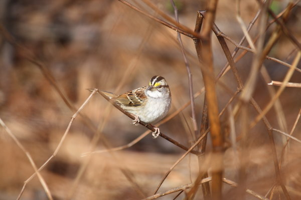 White-throated_sparrow_-_Celery_Farm,_NJ.JPG