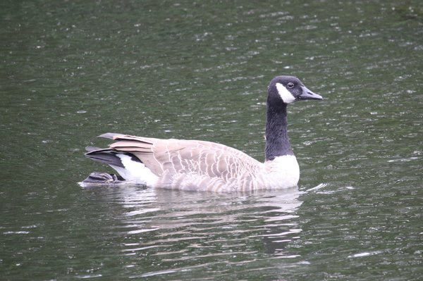 Canada_goose_-_Waldwick_Borough_Park,_NJ.JPG