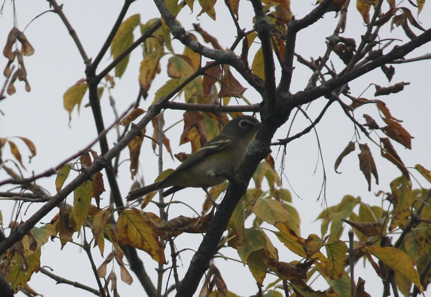 Blue-headed vireo - Celery Farm, NJ.JPG