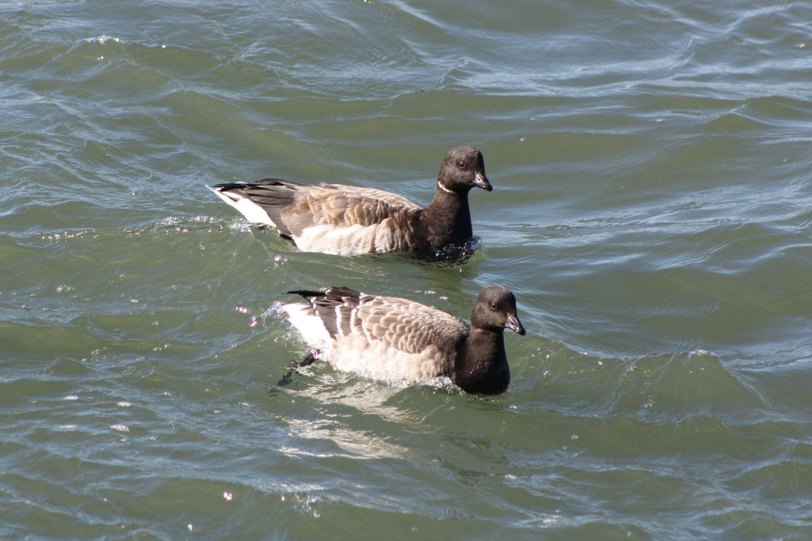 Brant - Avalon Sea Watch, NJ.JPG
