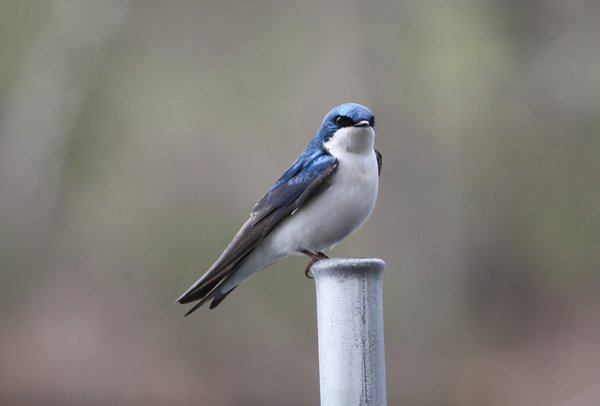 Tree swallow - male - Franklin Lakes Nature Preserve, NJ.JPG