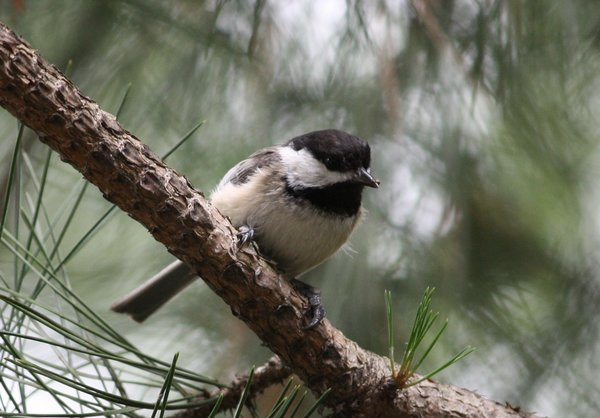 Black-capped chickadee - Emerson, NJ.JPG