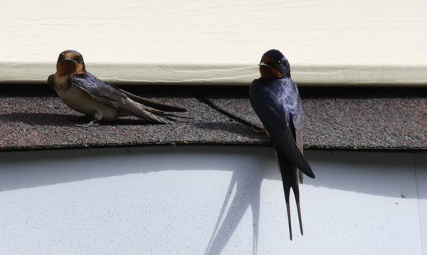 Barn swallow - Male & Female - Waldwick, NJ.JPG